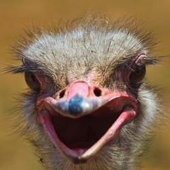 Ostrich bird in closeup