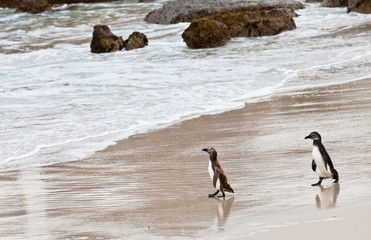 Black-footed african penguins on the beach