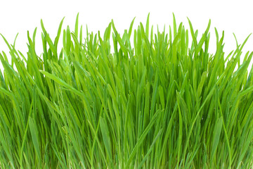 spring green grass isolated on white