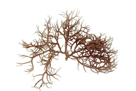 fresh dark brown seaweed