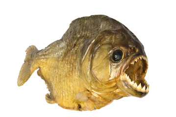 Red Belly Piranha on white background