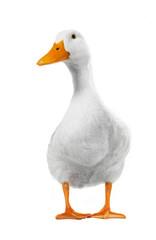 duck white