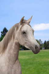 White arabian horse on a pasture