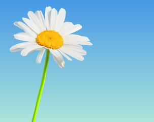 Chamomile bloom flower background