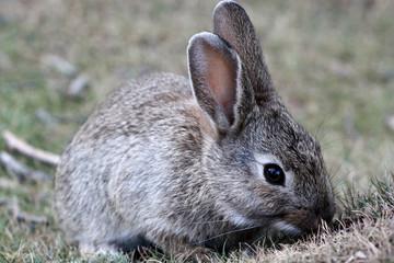 A hare in Tierra del Fuego