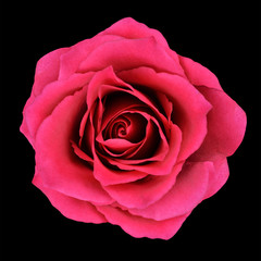 Burgundy Red Rose Isolated on Black