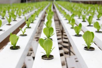 Hydroponic vegetable plantation