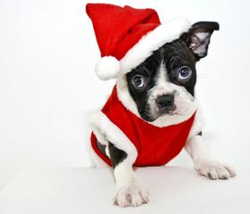 Wall Mural - Boston Terrier Wearing a Santa Suit
