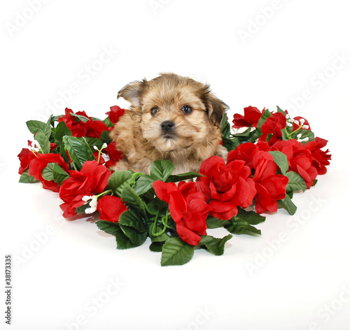Cute Yorkie Poo Puppy Stock Photo And Royalty Free Images On