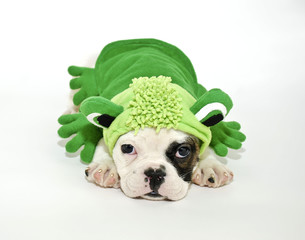 Wall Mural - Bulldog Puppy in a Frog Outfit.