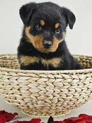 Ruttweiler Puppy