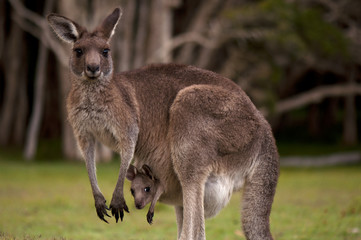 Kangaroo Mom with Baby Joey in Pouch