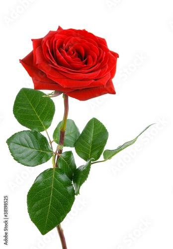 die perfekte rose stockfotos und lizenzfreie bilder auf bild 38198525. Black Bedroom Furniture Sets. Home Design Ideas
