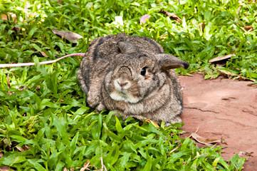 Chestnut (medium brown color) holland lop rabbit in the garden