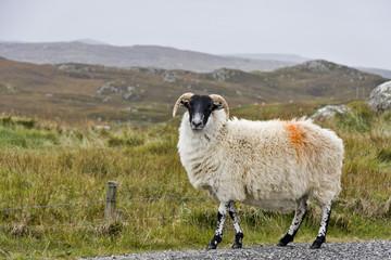white sheep with black head