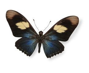 Dark blue and black butterfly isolated on white