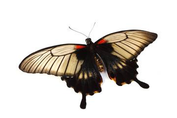 Papilio Lovii
