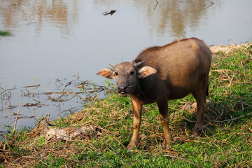 Young buffalo sticking tounge out