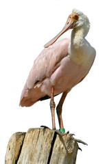 Isolated Roseate Spoonbill on wood post