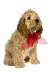 Dog with red ribbon is sitting and watching