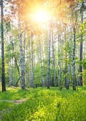 Spoed Foto op Canvas Berkbosje Spring sunny forest