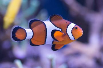 Amphiprion ocellaris błazenek Nemo