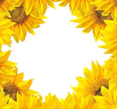 Sunflower nature summer background