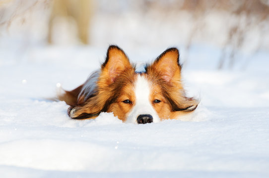 Border collie young dog play in winter
