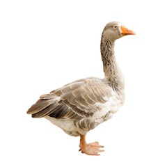 Goose isolated