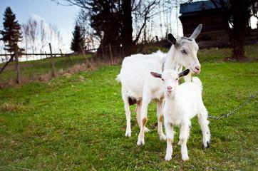 Goat and goatling
