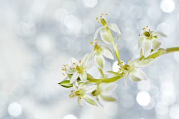 spring flower ornithogalum and bokeh