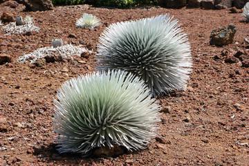 Silversword Plant