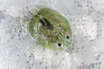 Freshwater lice on trout, extreme close-up