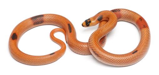 Tricolor sunrise patternless reverse Honduran milk snake
