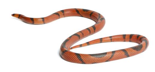 Hypomelanistic aberrant Honduran milk snake