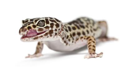 Leopard gecko, Eublepharis macularius