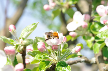 Bumblebee to the spring bloom tree