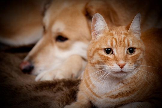 chat et chien roux