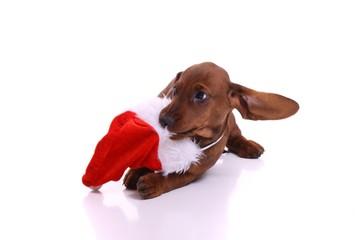 Dackel Welpe spielt mit Weihnachtsmütze