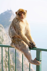 Monkey posing on the fence