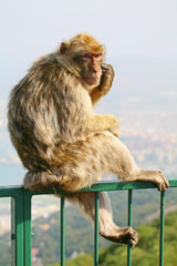 Monkey on a fence