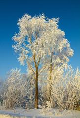 Fototapete - beautiful ice winter tree
