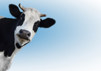 Fototapete - cow 1 (2)(10).jpg