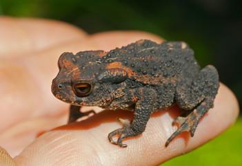 Young toad (Bufo gargarizans) 4