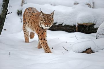 Aluminium Prints Lynx Beautiful wild lynx in winter