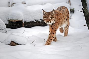 Aluminium Prints Lynx Lynx in winter