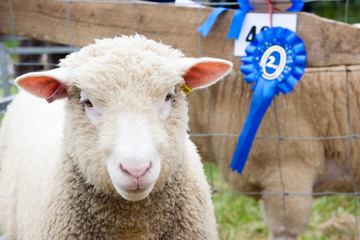 prize winning sheep at agricultural show with rosette
