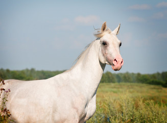 white arab horse in summer field
