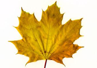 yellow mapple leaf