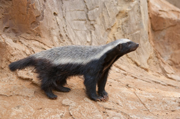 Wall Mural - A honey badger (Mellivora capensis)